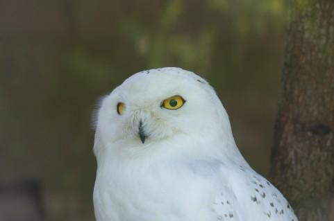 白色のフクロウ