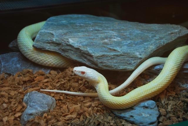 本物の白蛇